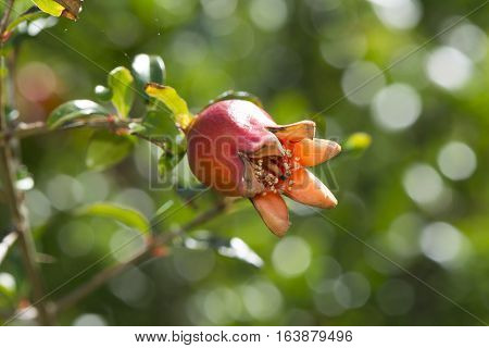 Punica Granatum Varitey Nana, Dwarf Pomegranate