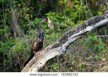Anhinga (Anhinga anhinga) eating fish on a tree