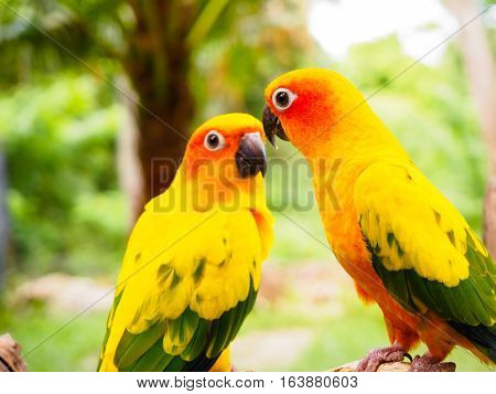Sun Parakeet or Sun Conure, the beautiful yellow and orange parrot bird with nice feathers details at Songkhla Thailand Sun Parakeet or Sun Conure, the beautiful yellow and orange parrot bird with nice feathers details at Songkhla Thailand
