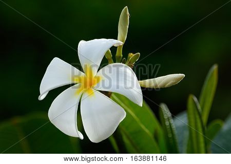 White plumeria flower on a tree, with dark background