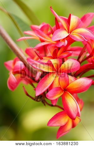 Pink plumeria flowers on a tree with green background