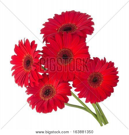 Five red gerbera flowers isolated on white background.Bouquet red flowers gerbera.