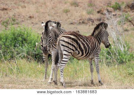 Plains zebra [Equus quagga] in pilanesberg national park