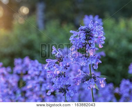 Purple flowers in closeup, macro and backlight. Common flower in the garden and park.