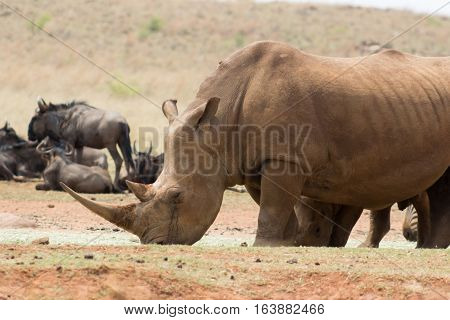 White rhinoceros eating hey in a feeding area of the reserve