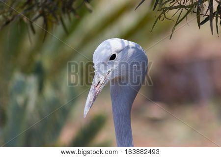 Blue Crane (Anthropoides paradiseus) close up photograph