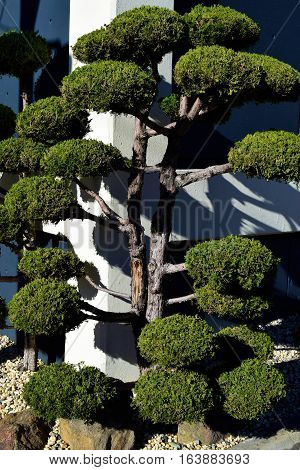 Japanese Bonsai Tree which is perfectly manicured taken in a Zen Rock Garden beside a building