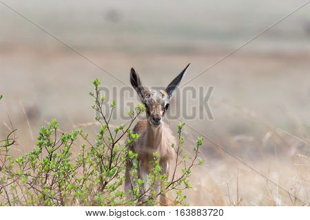 Springbuck doe standing behind a small bush