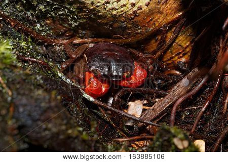 Forest Crab Or Tree Climbing Crab Madagascar