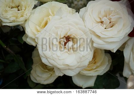 A bunch of beautiful white rose photo taken in Semarang Indonesia java