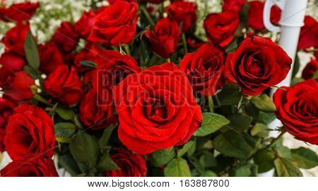 A bunch of beautiful red roses wih green leaves photo taken in Semarang Indonesia java