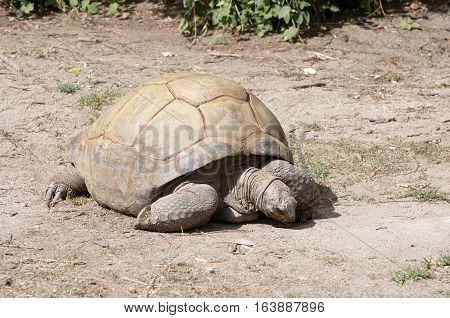 Land Tortoise grazing on a dry soil