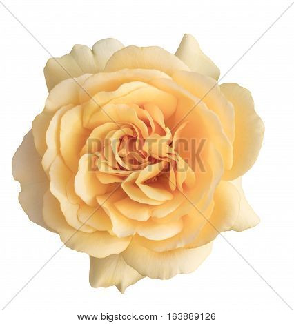 A photo of a beautiful yellow rose, isolated on white background