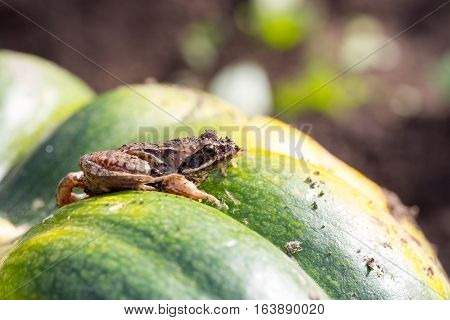 Little frog sitting on a green pumpkin photo