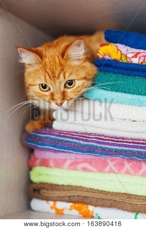 Cute ginger cat hides in a pile of towels. Fluffy pet with wary eyes tried to sleep in forbidden place - wardrobe with clean and ironed clothes and towels.