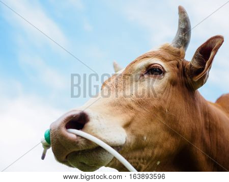 closeup of cow or bull head and focus at eye with white cloud and bright blue sky