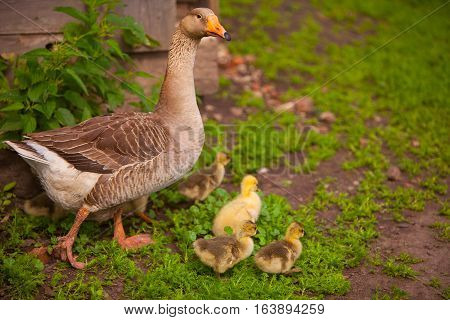 Adult Goose With Goslings Outdoors On Green Background