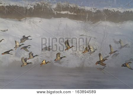 Mallard flock takes off with winter river at sunrise in fog, migration and wintering birds to ban hunting