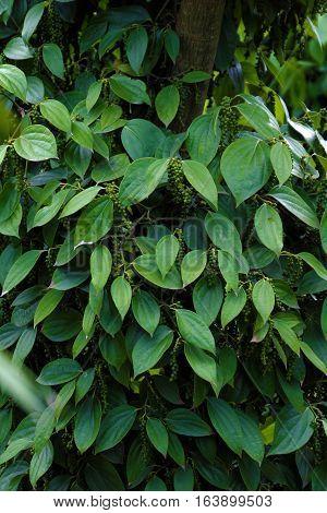 Peppercorn At Vietnam Pepper Field