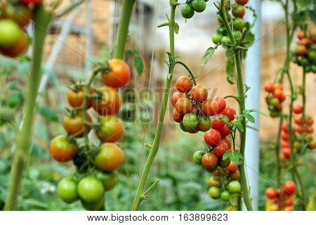 Safe Vegetable Farm, Da Lat Tomato Garden