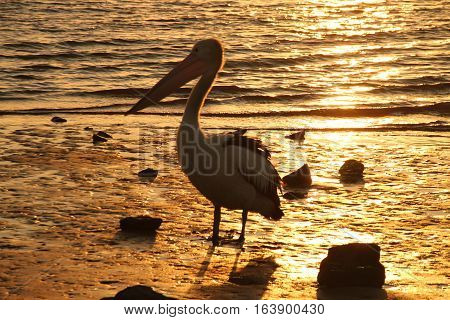 Solitary pelican stands alone at sunset by the edge of the water