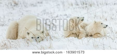 Polar She-bear With Cubs. Polar Bear Mother (ursus Maritimus) With Two Cubs