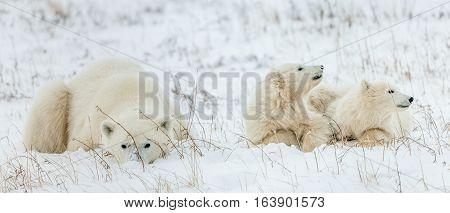 Polar She-bear With Cubs. Polar Bear Mother (ursus Maritimus) With Two Cubs