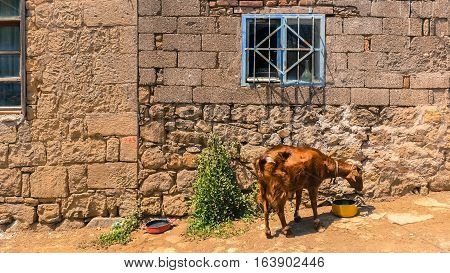 Brown goat drinking water in front of a stone house