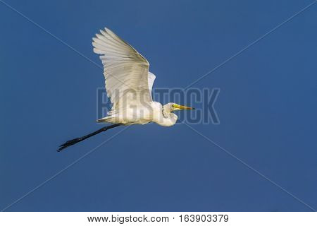 Great egret in Arugam bay lagoon, Sri Lanka ; specie Ardea alba family of Ardeidae
