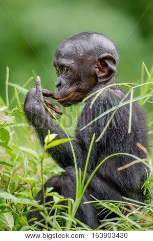 Bonobo in natural habitat. Green natural background. The Bonobo ( Pan paniscus) called the pygmy chimpanzee. Democratic Republic of Congo. Africa