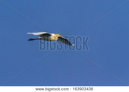 Indian pond heron in Arugam bay lagoon, Sri Lankaspecie Ardeola grayii family of ardeidae