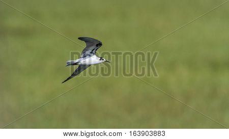 Whiskered tern in Arugam bay lagoon, Sri Lanka ;specie Chlidonias hybrida family of Laridae poster