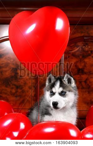 Valentine's day husky puppy with a big red heart balloon on a texture background.
