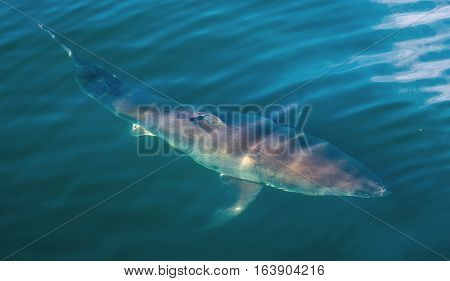 Great White Shark Underwater . Great White Shark (carcharodon Carcharias) In The Water Of Pacific Oc