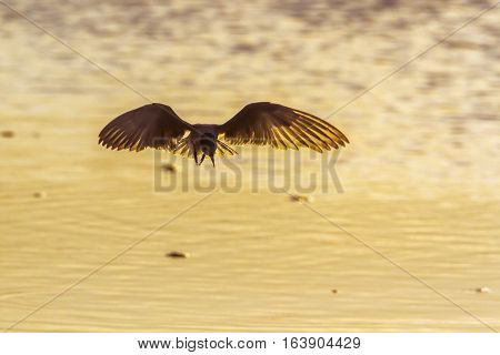 Whiskered tern in Arugam bay lagoon, Sri Lanka ; specie Chlidonias hybrida family of Laridae poster