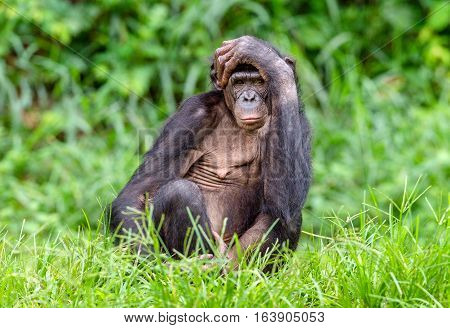 Adult male of Bonobo on the Green natural background in natural habitat. The Bonobo ( Pan paniscus) called the pygmy chimpanzee. Democratic Republic of Congo. Africa