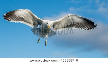 Flying Adult Kelp gull (Larus dominicanus) also known as the Dominican gull and Black Backed Kelp Gull. Blue sky background. False Bay South Africa