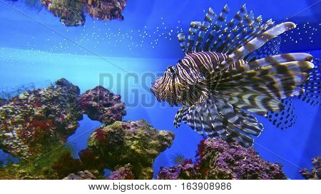 Striped marine fish lionfish swims under water on blue background.