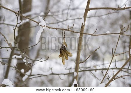 Closeup of Propeller Fruits of a Maple Tree in Winter