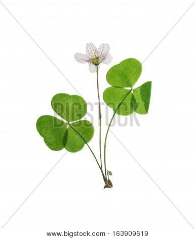 Pressed and dried set delicate flower oxalis. Isolated on white background. For use in scrapbooking floristry (oshibana) or herbarium.