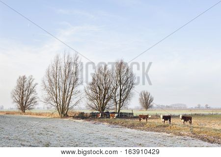 red and white bulls in wintry meadow in floodplains of river Lek near Lexmond in the netherlands