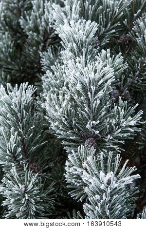 Pine Branch With Long Needles In The Frost
