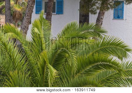Green palm leaves in the background pine trees and a white wall.