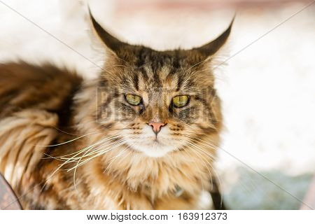 Maine Coon cat sitting in the garden - Portrait of Adorable Ginger Maine Coon Cat Curious Looking in Camera Isolated on White Background Front view