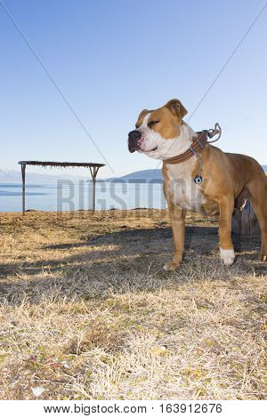 American Staffordshire Terrier on a beach outdoor portrait
