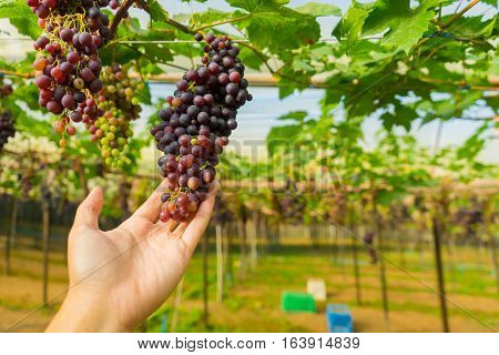 A hand man holding the purple grapes in the vineyard at Mae Hong Son near Chiang Mai Thailand.