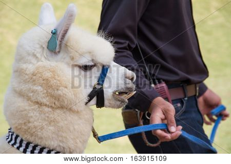 People walking towed alpaca sheep in farm