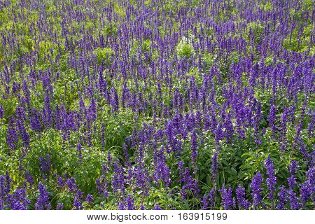purple lavender flowers background in the field