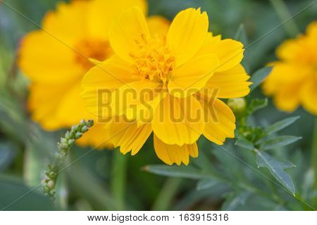 Yellow Cosmos flower closeup in the garden