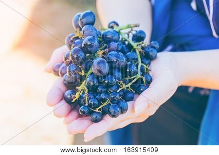 A women's hand holding the purple grapes in the vineyard at Mae Hong Son near Chiang Mai Thailand.Vintage tone